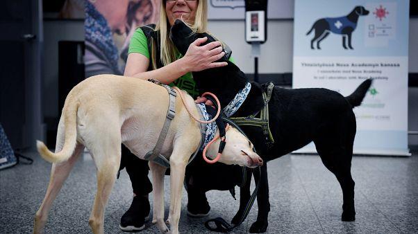 A koronavírussal fertőzöttek észlelésére kiképzett finn kutyák