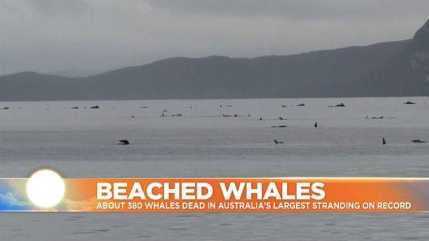 Beached whales in Tasmania, Australia