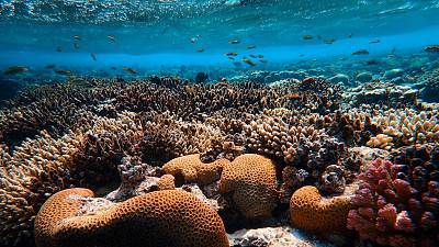 Red Sea coral