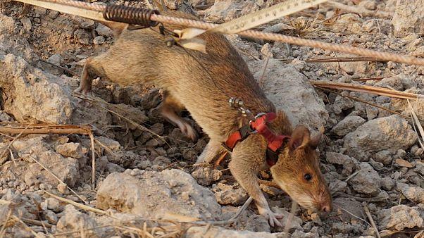 موش مینیاب