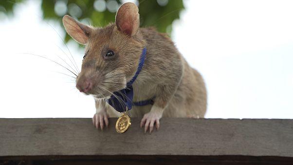 ماغاوا ، الفأر الأفريقي البطل المتوج بالميدالية ذهبية