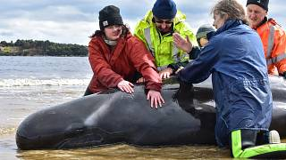 Rescuers work to save a whale on a beach in Macquarie Harbour on the rugged west coast of Tasmania, Australia September 25, 2020