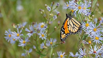 Butterfly populations are on the decline