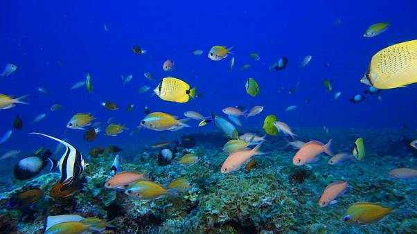 NOAA: halak úszkálnak egy Hawaii-szigeteknél található korallzátony közelében