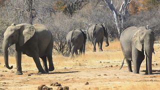 Zimbabve'de son bir ayda 34 fil ölümü yaşandı