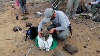إعادة 36 سلحفاة من سلاحف غالاباغوس إلى موطنها الطبيعي