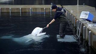 Jessica Whiton, Sea Life Trust Beluga Whale Sanctuary, interacting with beluga whale
