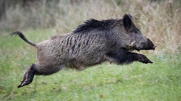 Almanya'da domuz vebası vakası artıyor