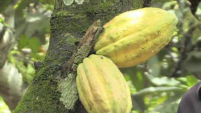 In boost to farmers, Ivory Coast sets new cocoa price