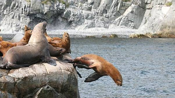 FILE - Sea lions on the Kamtchatka peninsula in eastern Russia.
