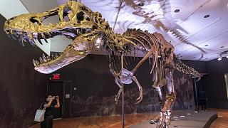 Le squelette du T-Rex Stan, exposé dans les locaux de Christie's, à New York le 15 septembre 2020