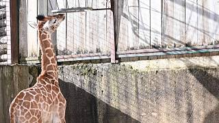Újszülött zsiráf az amnéville-i állatkertben