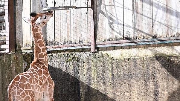 No Comment: Erstmals Giraffen-Baby im Zoo von Amnéville geboren