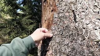 Climate change blamed for death by beetle of German trees