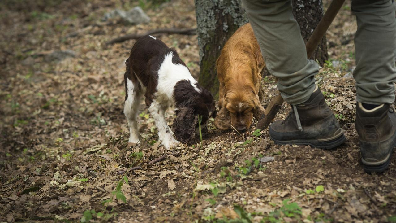 Two dogs sniffing and digging out truffles in the woods