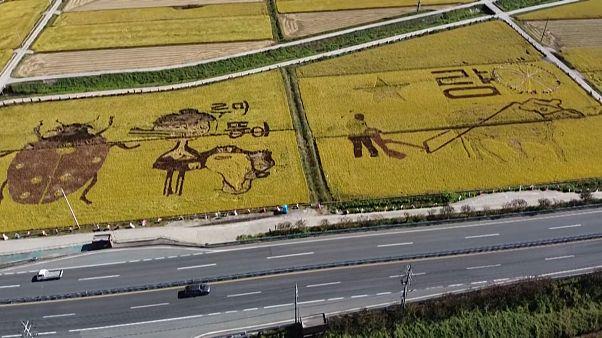 Vidám rizsföldek Dél-Koreában