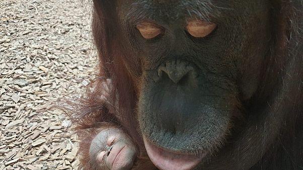 Orang-Utan Mutter mit Baby