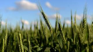 القمح المعدل وراثيا