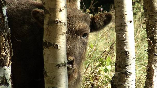 Мост для медведей: как расширяется биоразнообразие в Румынии?