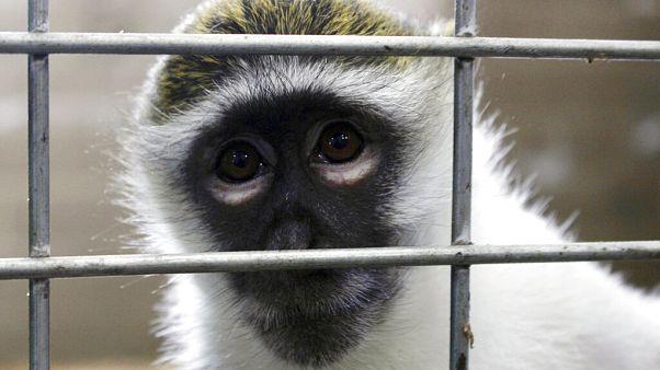 Una scimmia in laboratorio