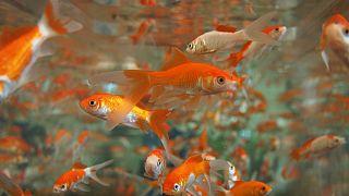 fish skean