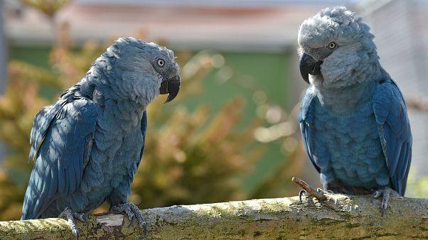 Soyu tükenmekte olan mavi Spix Papağanı