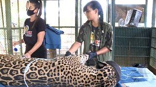 Amanaci, el jaguar herido que se ha convertido en símbolo de la tragedia en el Pantanal