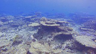 Archives : la disparition des coraux sur la Grande Barrière, en Australie