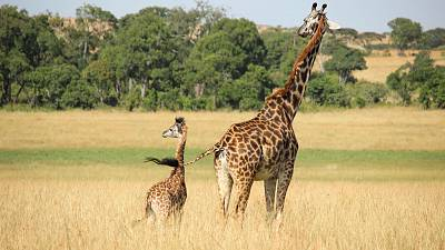 Giraffes numbers have been in rapid decline since the mid 1980s.