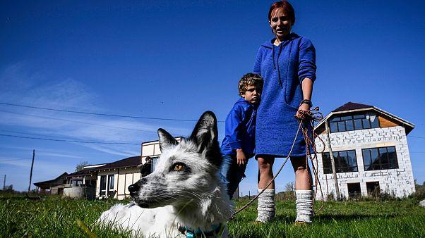 تاتيانا أبراموفا وابنها تيموفي يسيران مع ثعلبهما بلومبير في منزلهما الريفي خارج مدينة نوفوسيبيرسك السيبيرية
