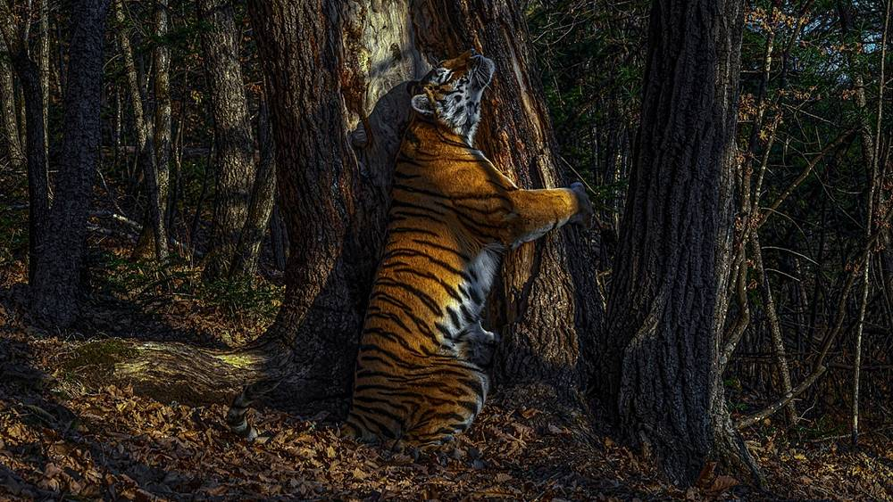 Wildlife Photography Awards offer a rare glimpse of Siberian tigers