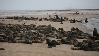 1000s of Aborted Seal Pups Mysteriously Wash Ashore the Namibian Coast