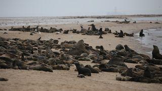 Des milliers de bébés otaries retrouvés morts en Namibie