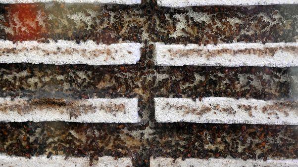 """مستعمرات للنمل في متجر """"جاست أنتس"""" بسنغافورة"""