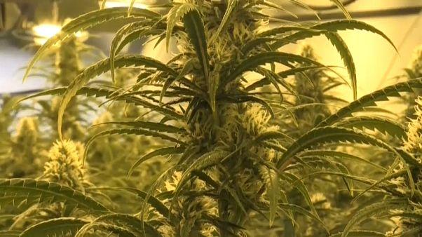 Una plantación ilegal de marihuana desmantelada por los Mossos d'Esquadra.