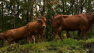 Árboles que sufren, vacas que producen menos: el cambio climático en Los Alpes