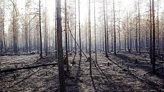 The burned trunks of trees are seen after a major forest fire in Angra, Ljusdal municipality, Sweden, Sunday July 22, 2018.