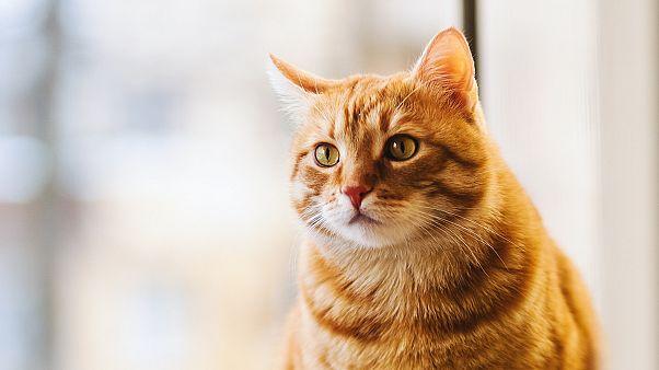 Covid-19'a yakalanan kedi uyutuldu / ARŞİV