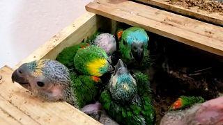 Brezilya'da 166 vahşi papağan kaçakçıların elinden kurtarıldı