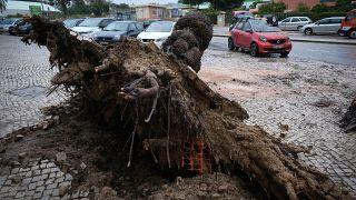 Árvore arrancada com a passagem da intempérie Bárbara