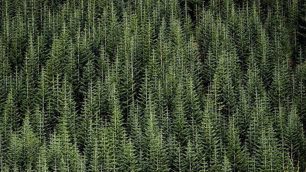 Foto d'archivio - Una foresta dello stato di Washington
