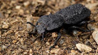 Kendi ağırlığından 40 bin kat ağırlığa dayanıklı böcek