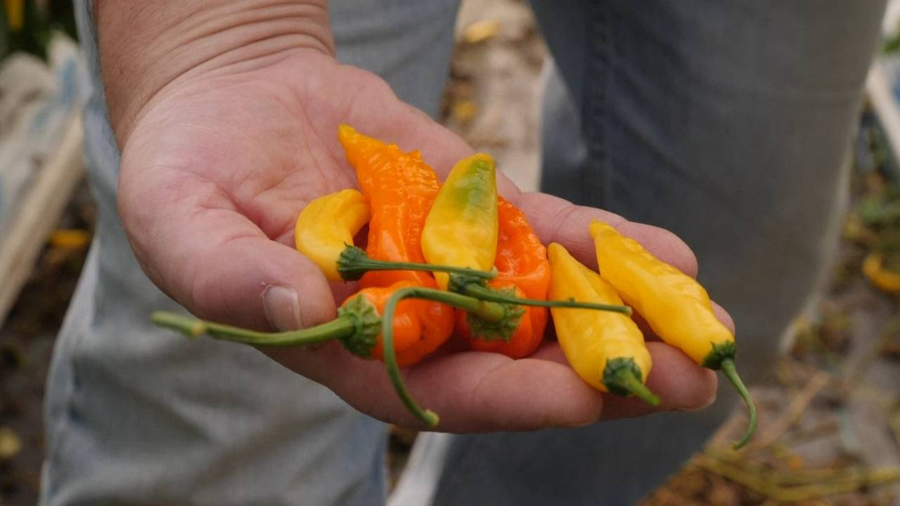 Hot chilles are tasted at a farm in the UK