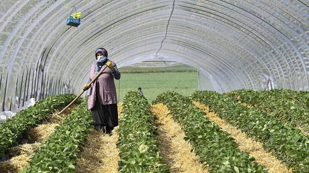 A local seasonal worker works at a strawberry field in Bottrop, Germany, Friday, April 17, 2020.