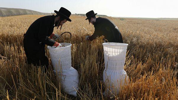 حقول القمح بالقرب من مدينة جيديرا الإسرائيلية