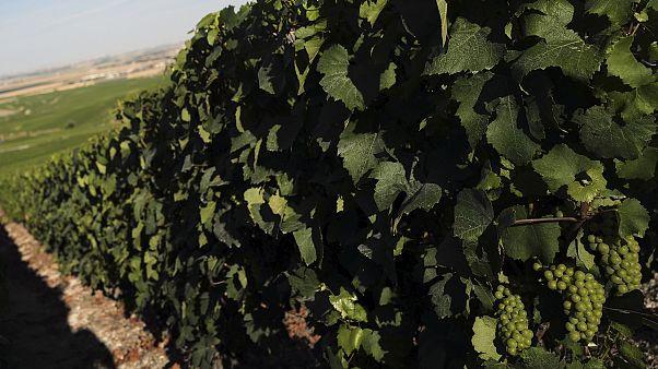 Виноградник в регионе Шампань, июль 2020 года