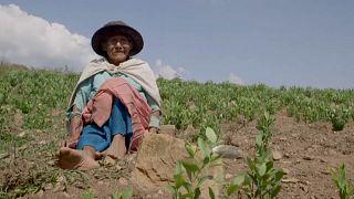 Campesina en una plantación de hoja de coca en Los Yungas, Bolivia