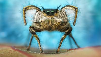 A male jumping spider performing a courtship dance.