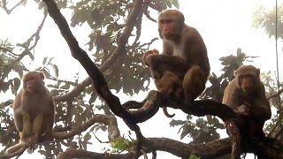 تثير الآلاف من القردة الرعب في مدينة شيملا الهندية