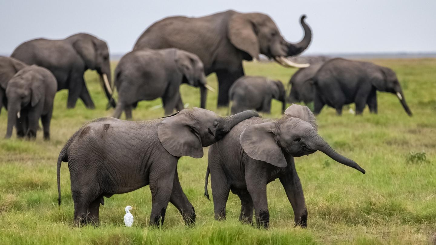 There is an elephant 'baby boom' going on in Kenya   Living